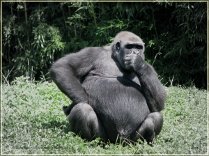 gorilla-deep-in-thought